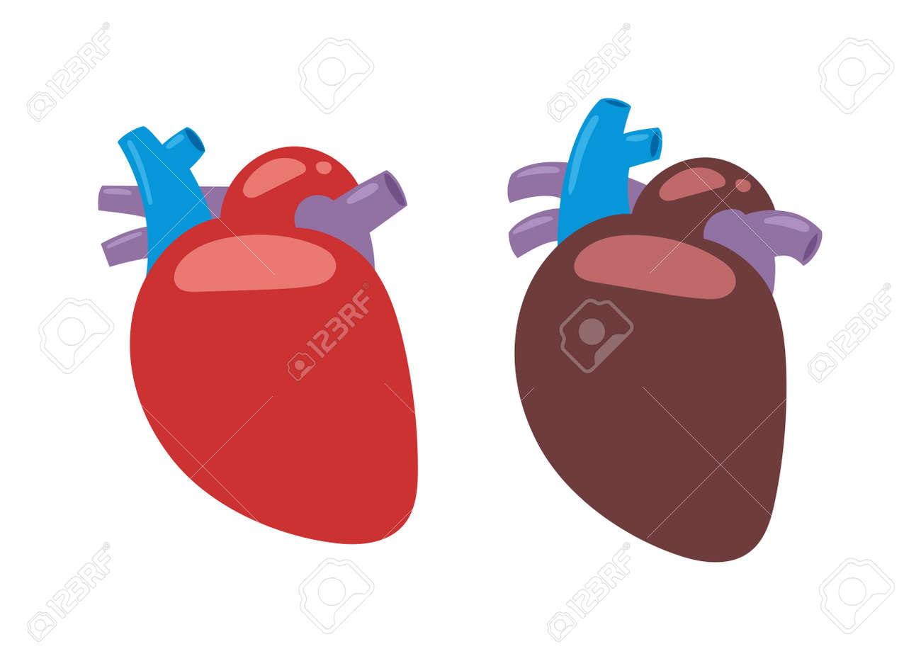Anatomía Del Corazón Humano Aislado En Blanco Ilustración Vectorial ...