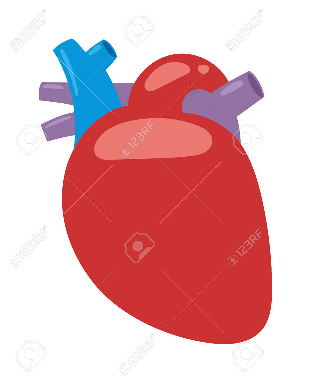 Human Heart Anatomy Isolated On White Vector Illustration Anatomy