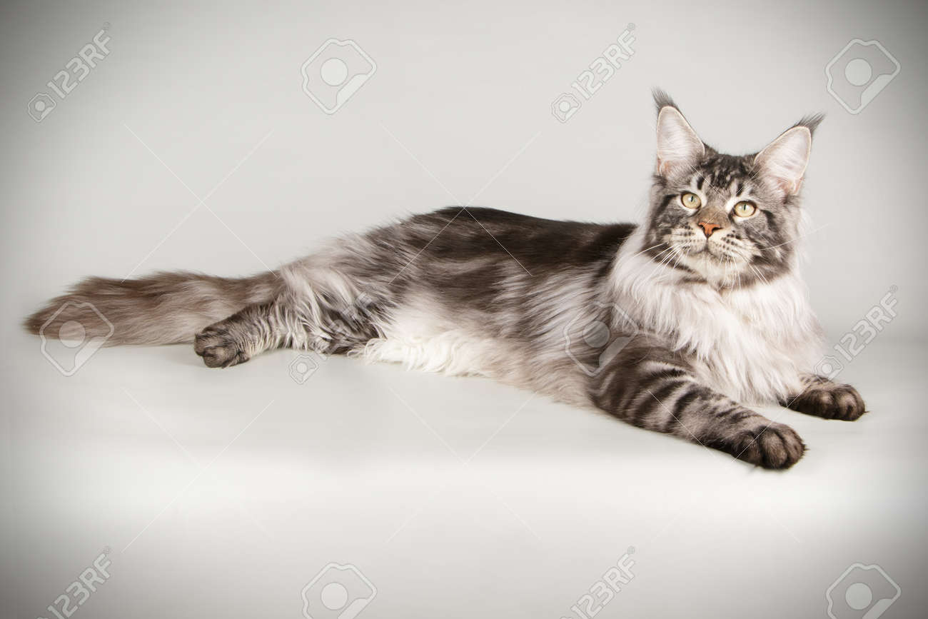 Studio photography of a Maine Coon cat on colored backgrounds - 107192575