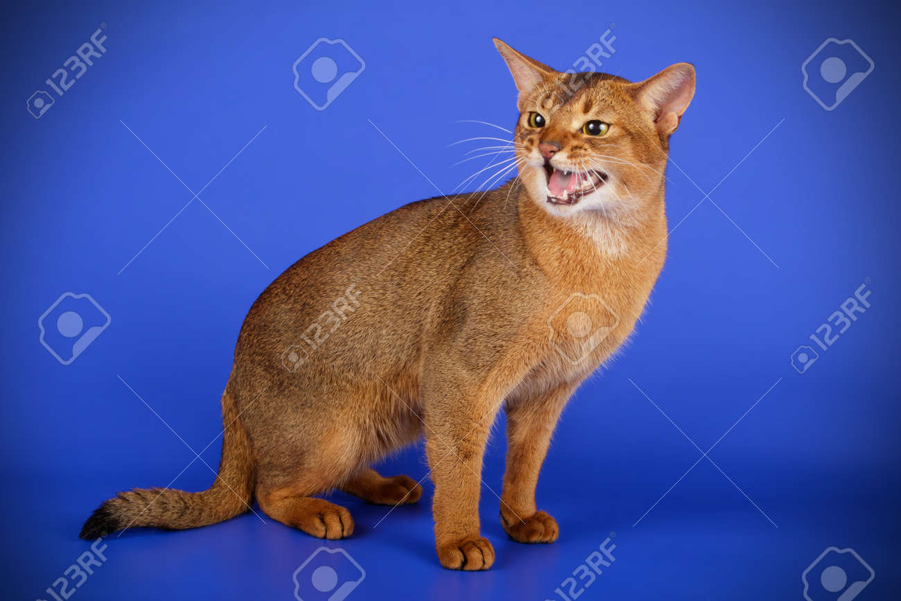 Abyssinian Cat Colors