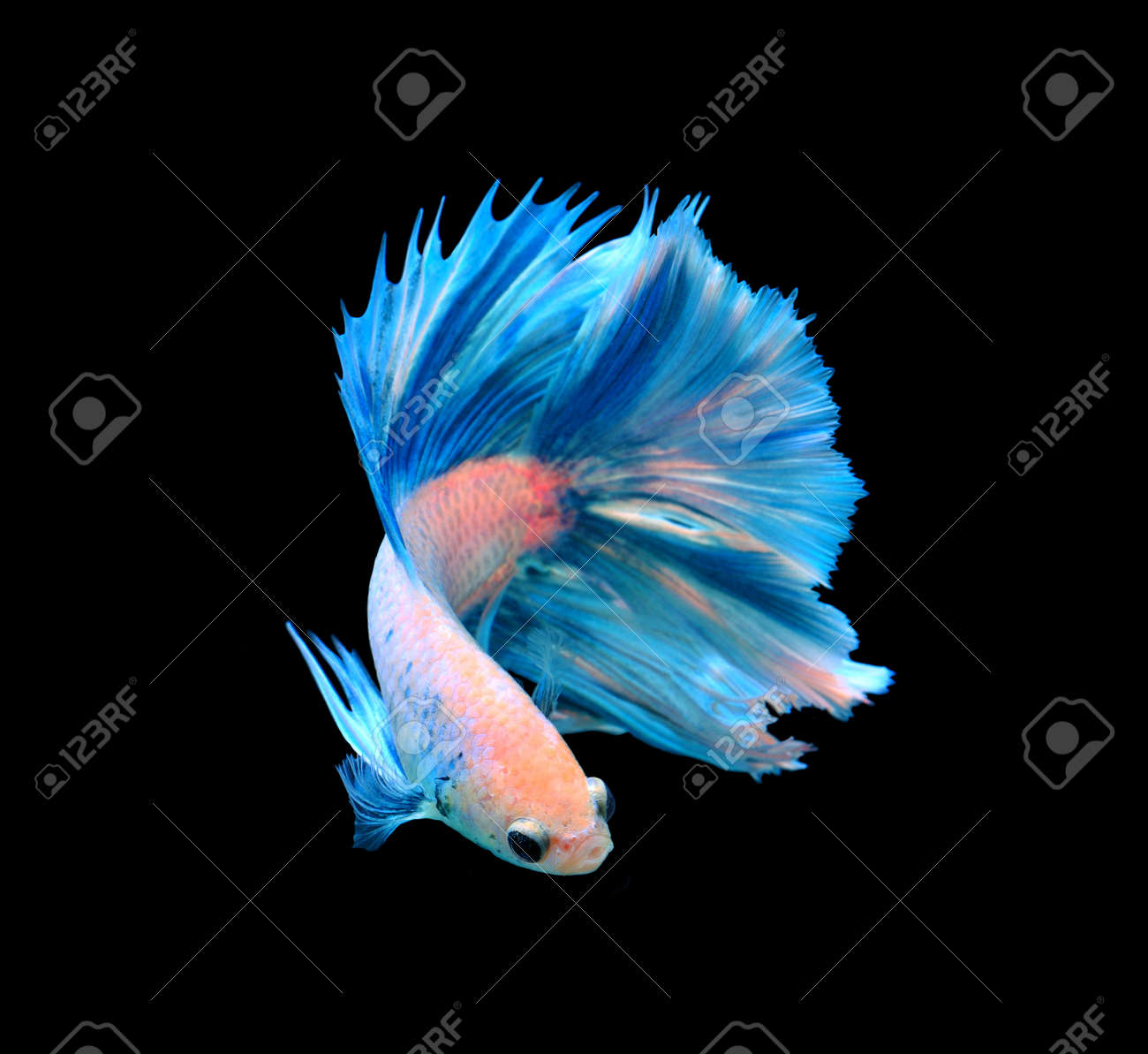 Image result for betta fish black and white