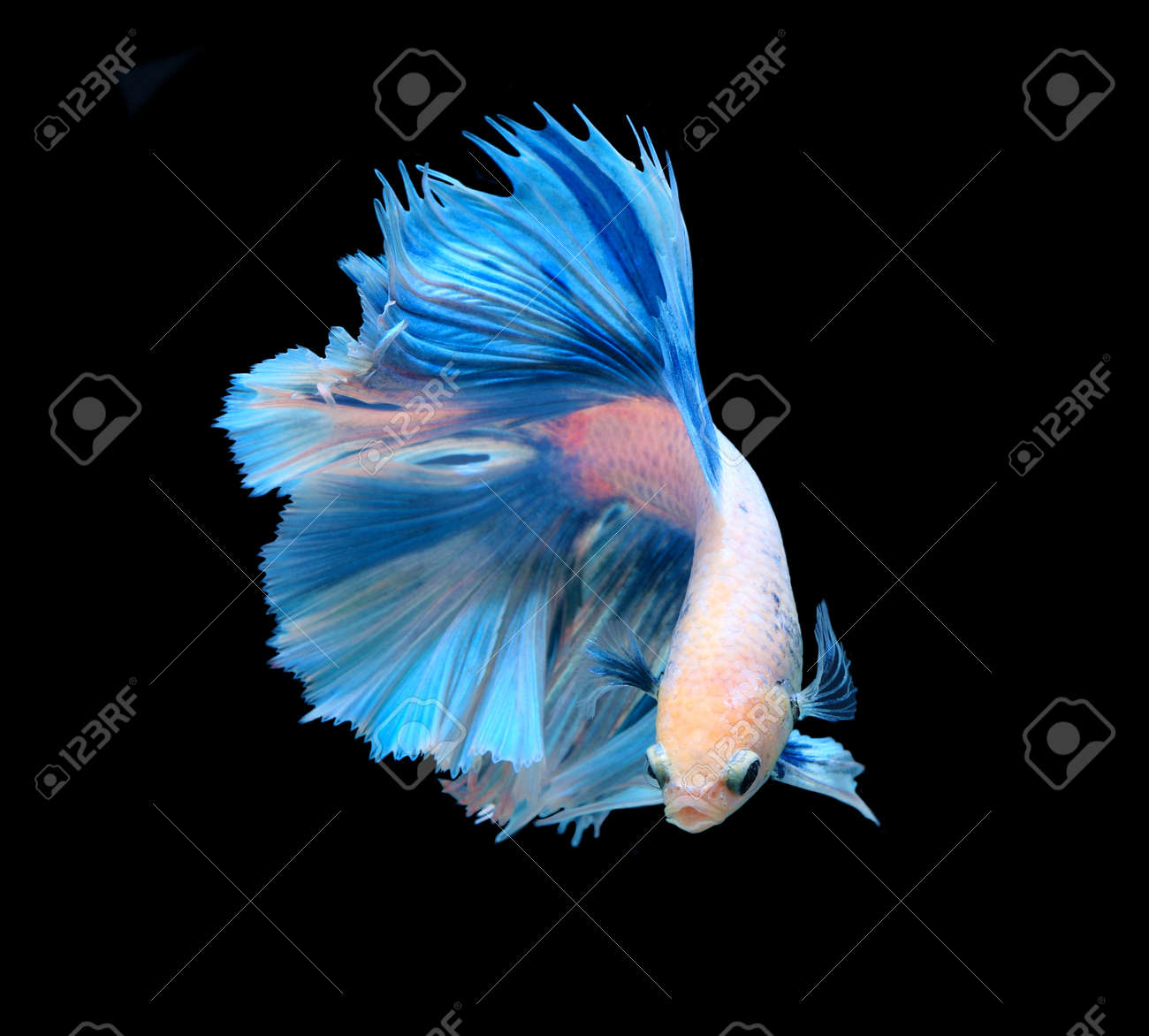 white and blue siamese fighting fish betta fish isolated on stock