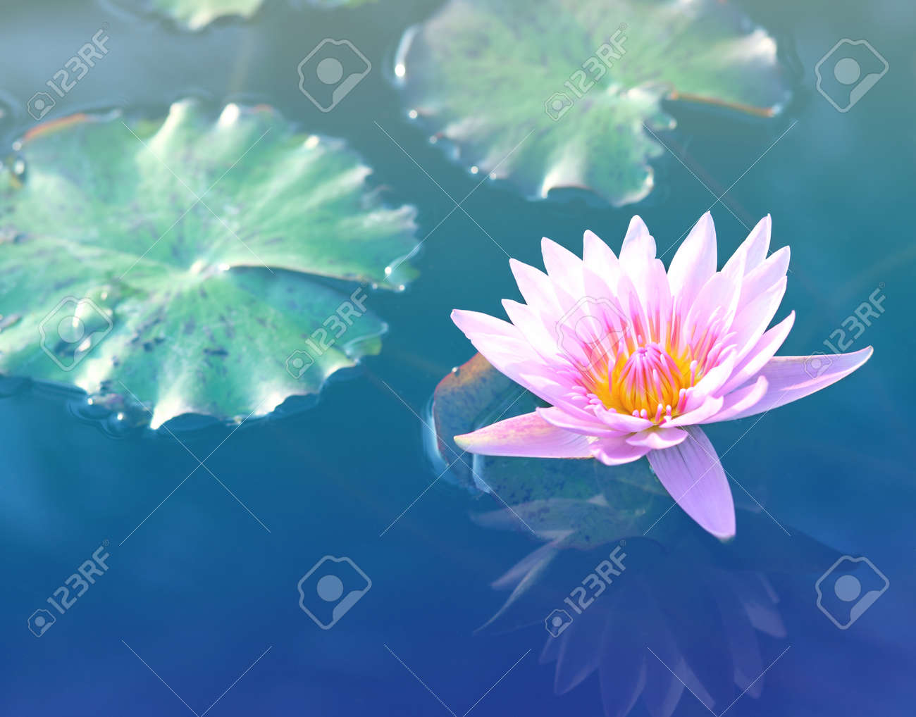 Pink Lotus Flower Lotus Blossoms Or Water Lily Flowers Blooming