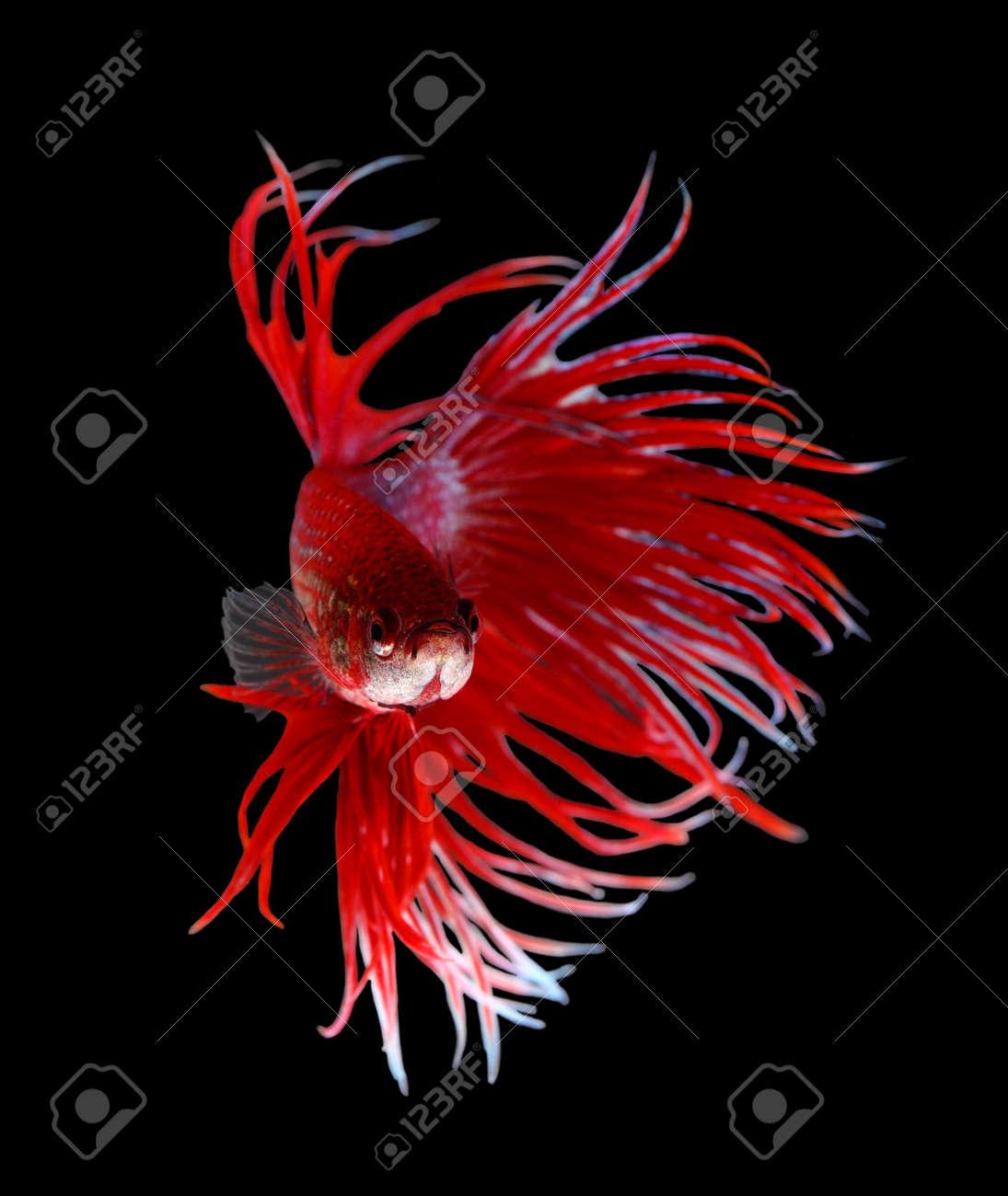 Betta Fish Closeup. Colorful Dragon Fish. Aquarium. Isolated.. Stock ...