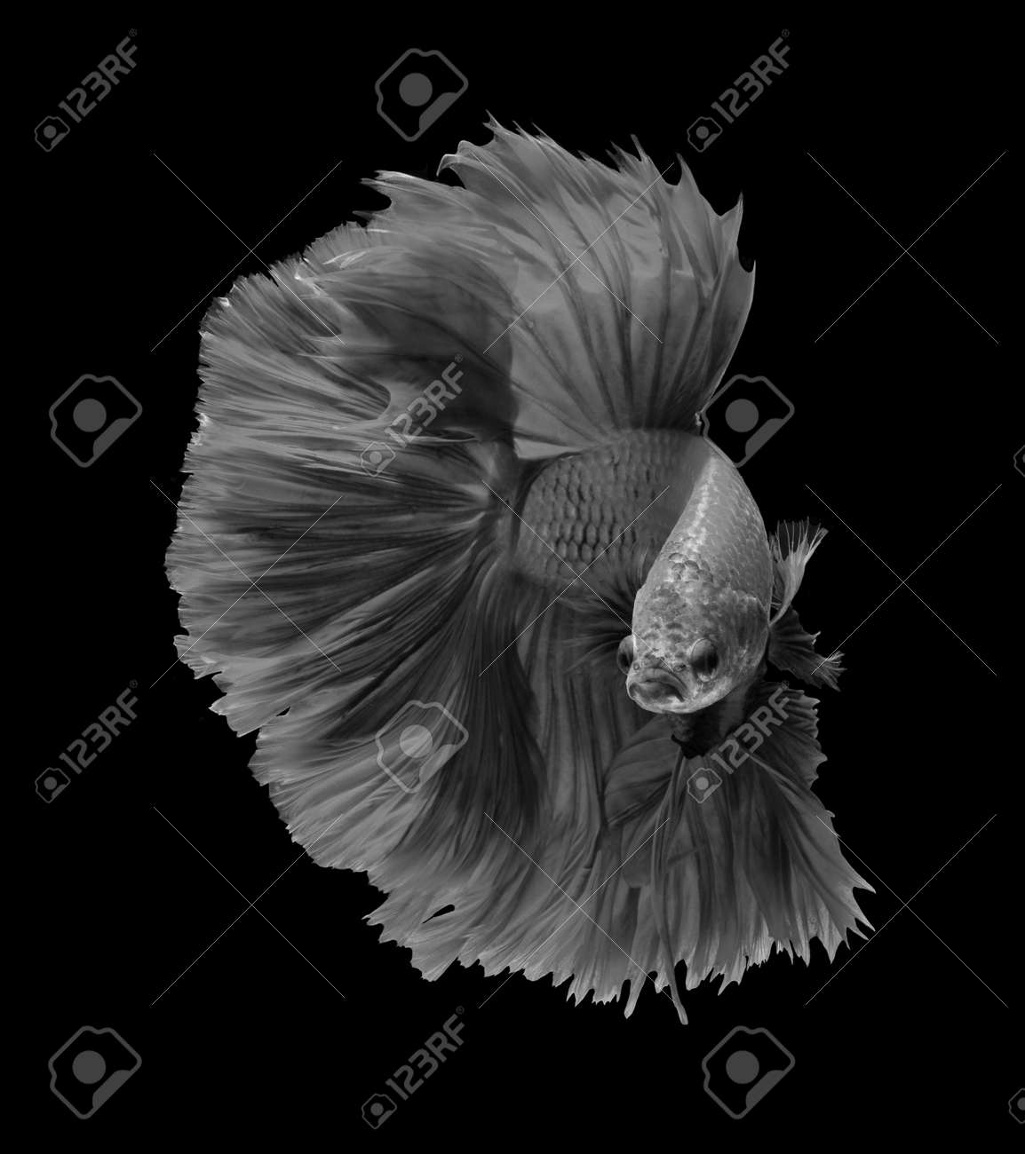 Black and white siamese fighting fish betta fish isolated on black background stock photo