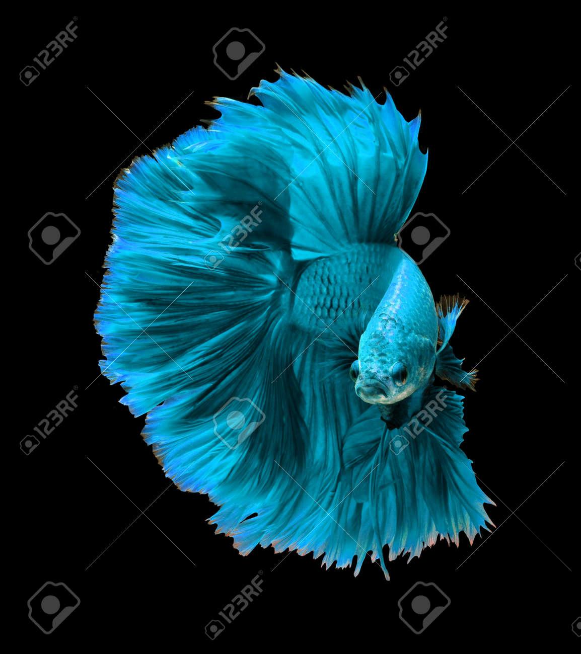 blue turquoise dragon siamese fighting fish betta fish isolated