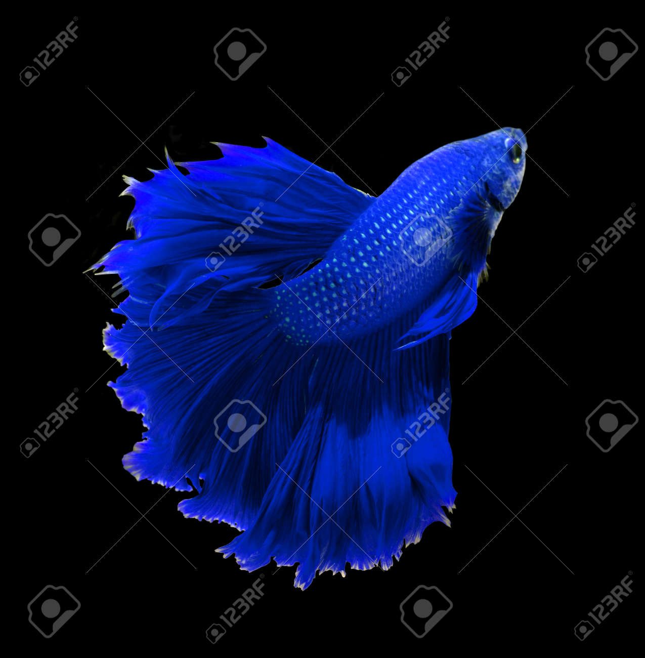 blue dragon siamese fighting fish betta fish isolated on black