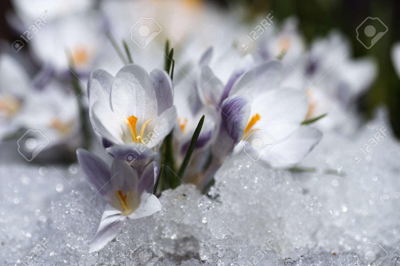 Crocus Flowers Blooming Through The Melting Snow In The Spring Stock