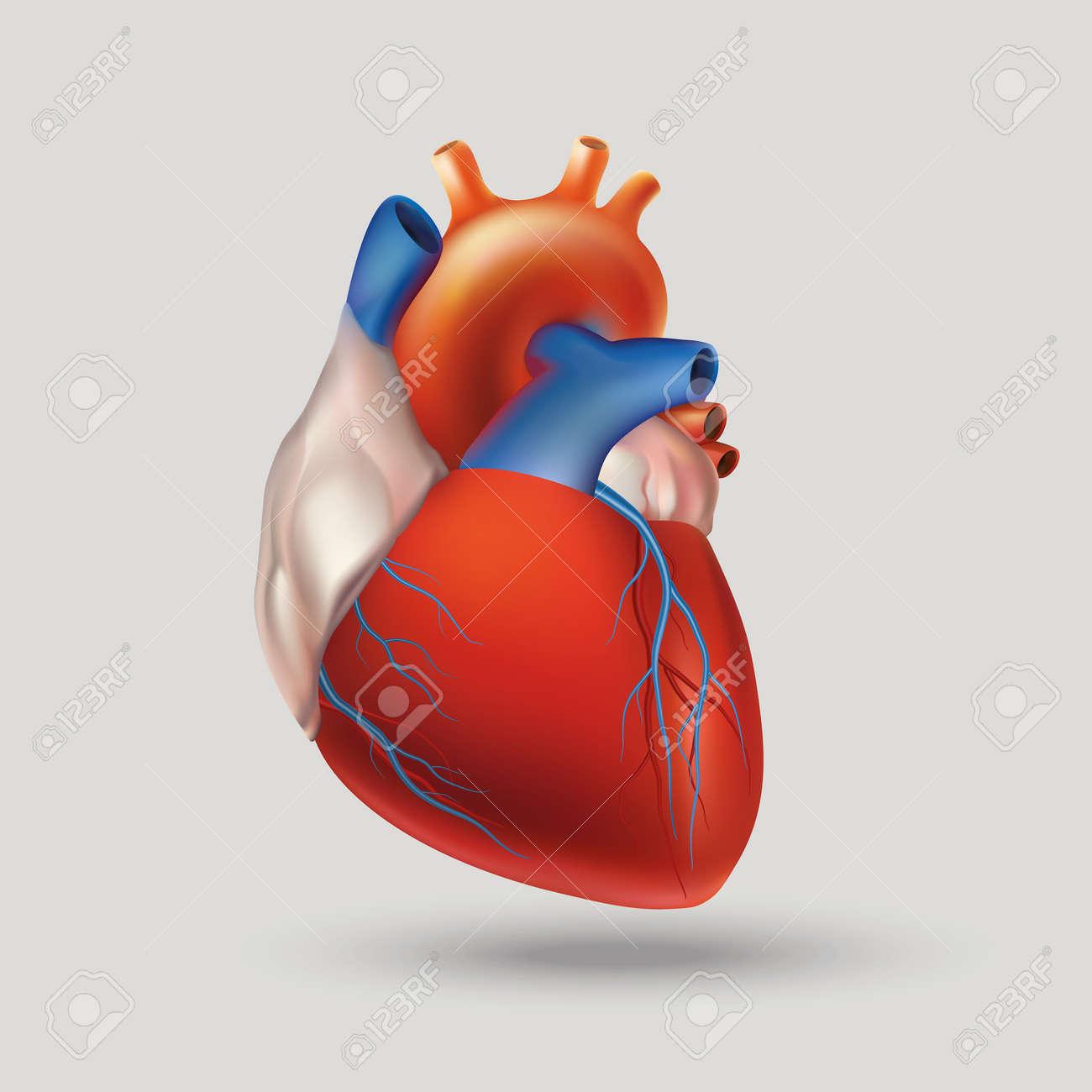 Bedingte Bild Von Einem Modell Des Menschlichen Herzens (Hohl ...