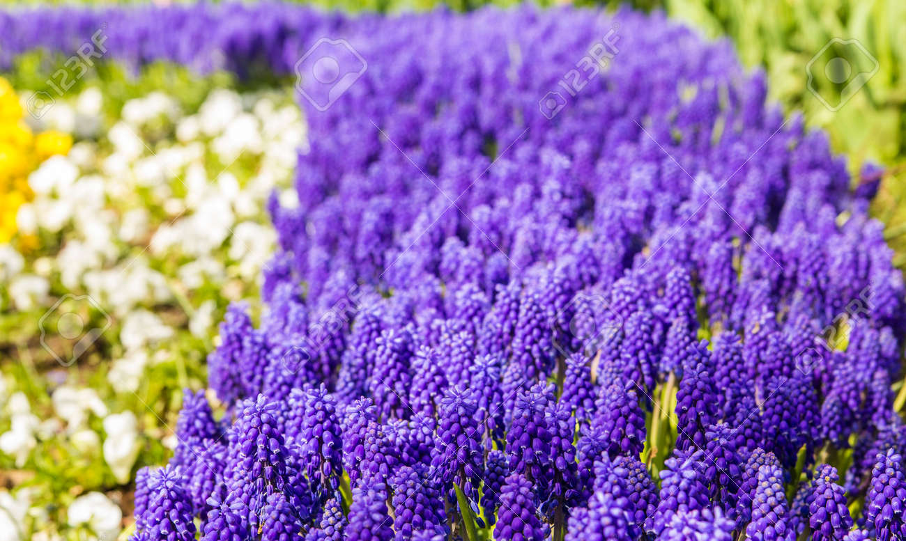 background texture of a flower bed with a small purple muscari, Beautiful flower