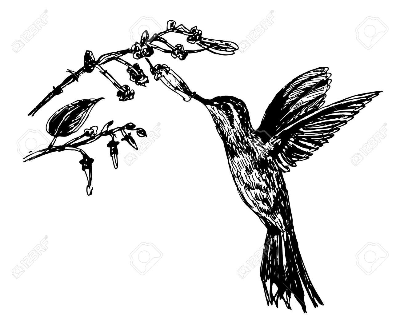 Dessin Petits Colibris D Oiseaux Et De Branche Fleurie Tire Par La