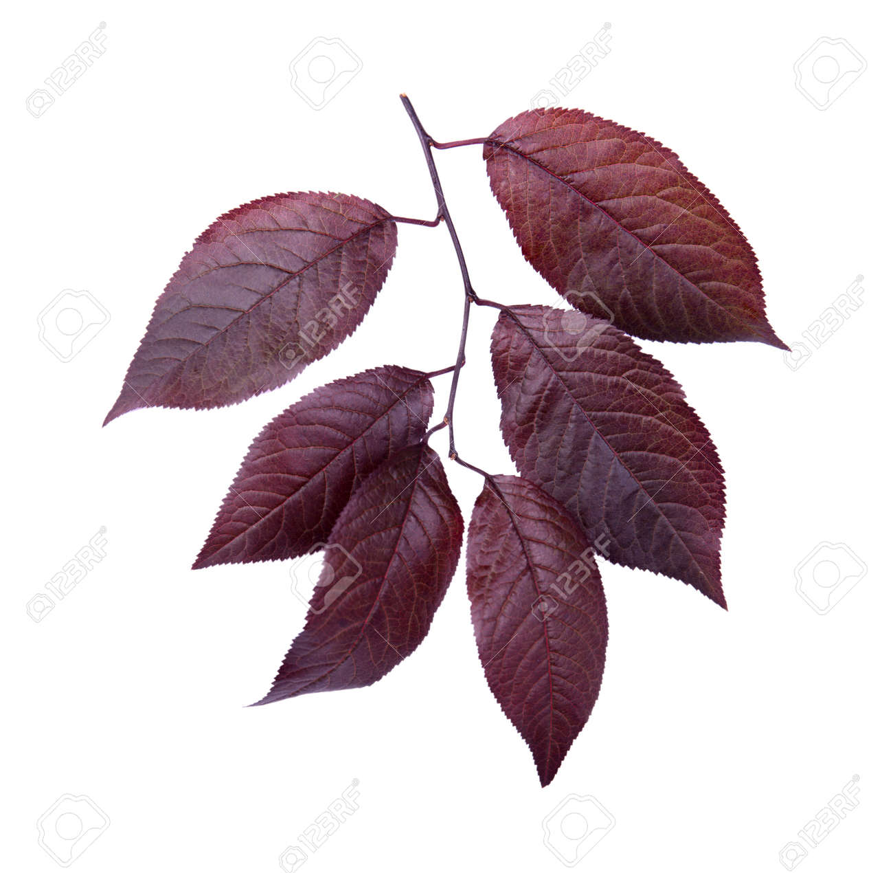 Organic Fresh And Dark Red Autumn Leaves Isolated On A White