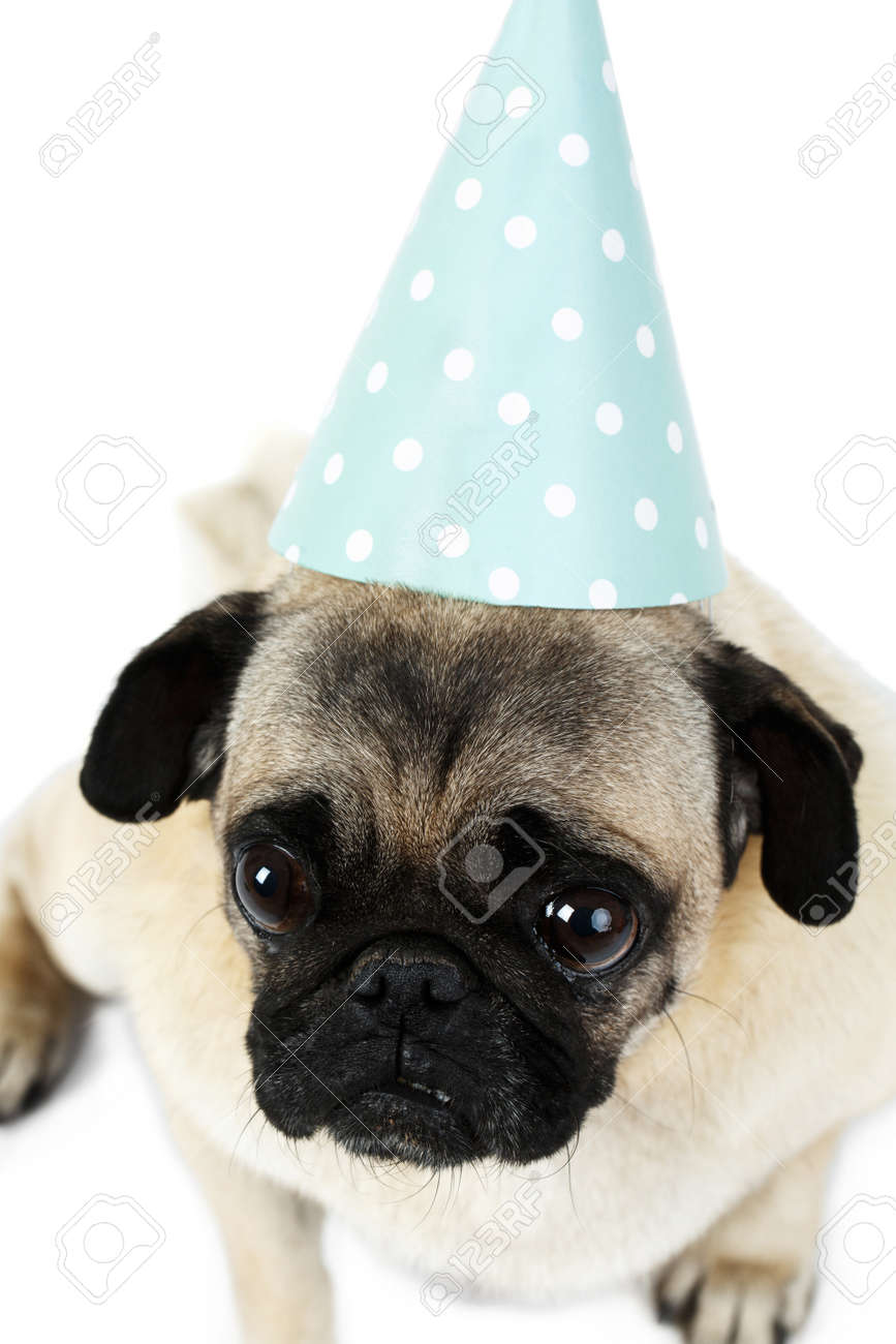 A Sad Pug In A Festive Cap Of A Cone-shaped. View From Above ... dfc298c35df