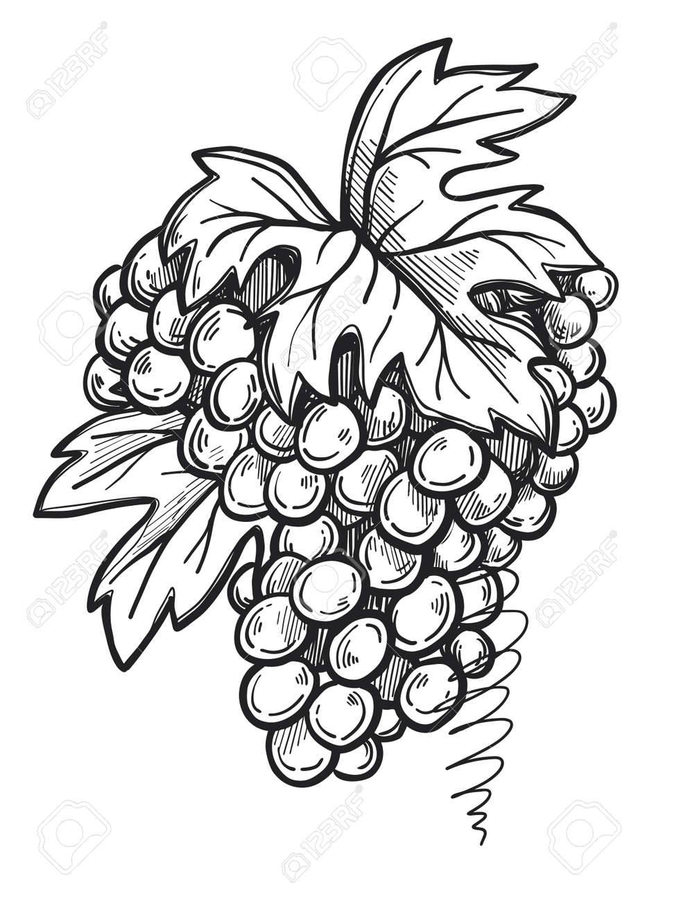 Bunch Of Grapes Freehand Pencil Drawing Isolated On White Background Vector Illustration Wine Grape With