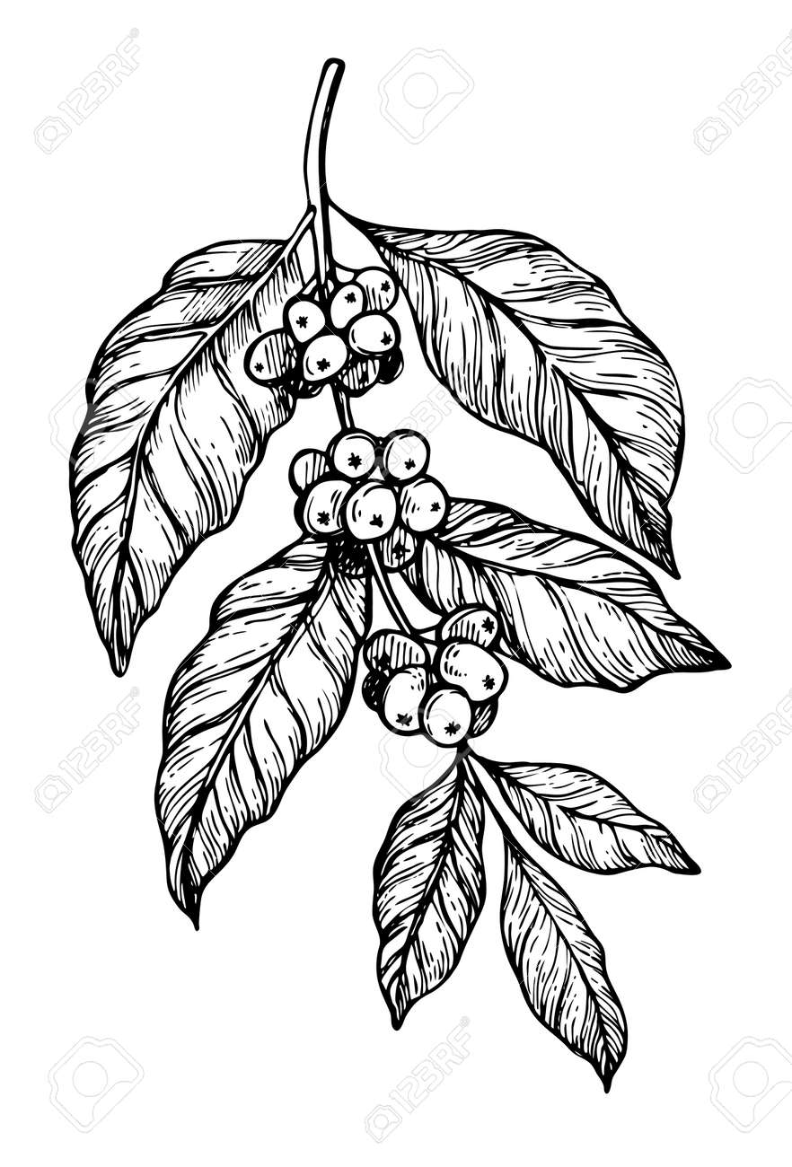 Coffee tree branch freehand pencil drawing isolated on white background vector illustration. Cafe or restaurant menu design element. Coffee plant concept, branch with leaf and bean in vintage style. - 69367293