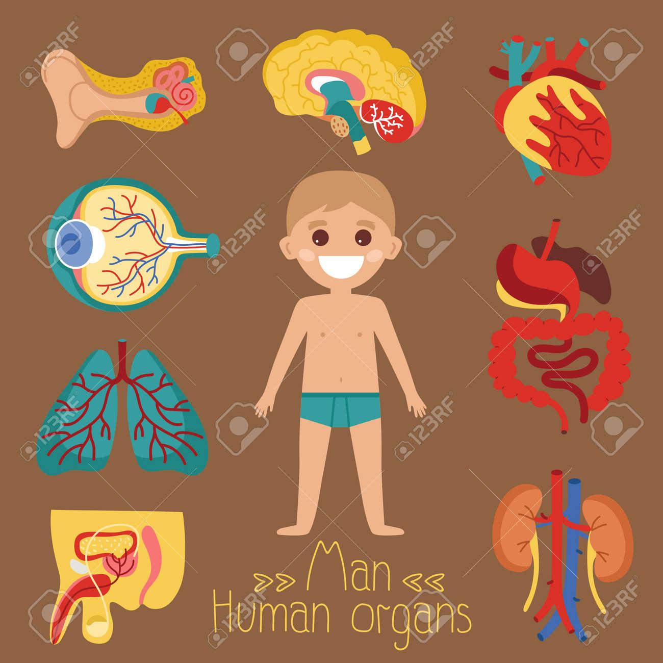 Cartel Médico De Salud Masculina Con órganos Humanos. Riñón, Pene ...