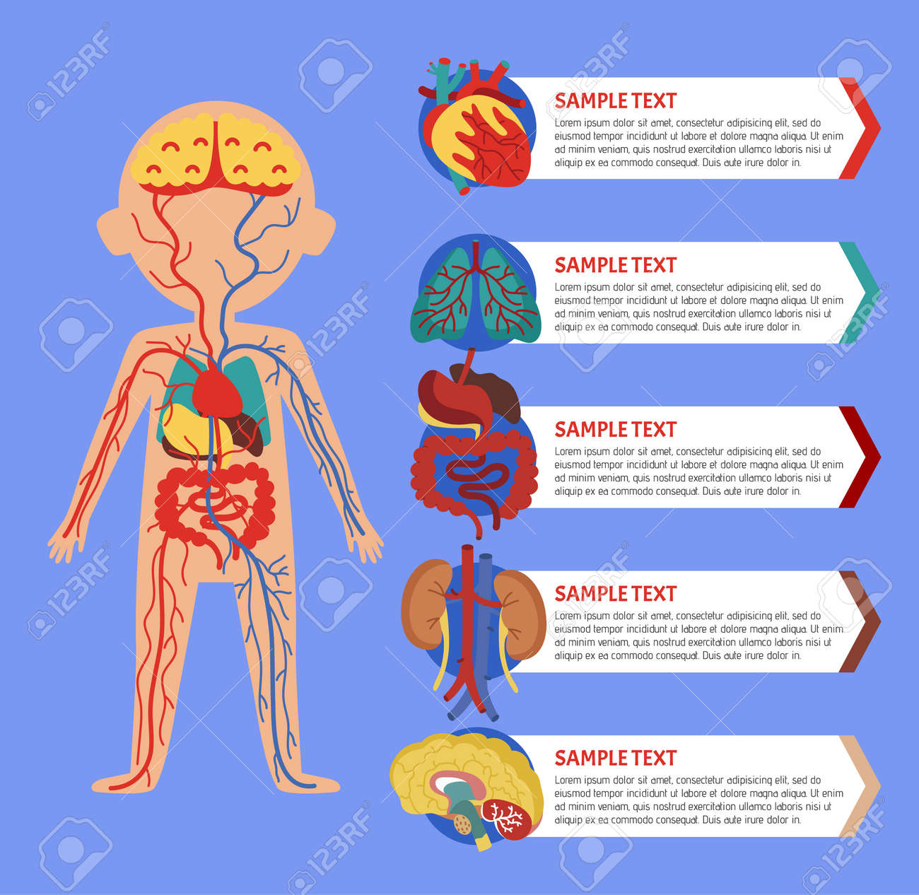 Health Medical Poster With Human Body Anatomy. Kidney, Lung ...
