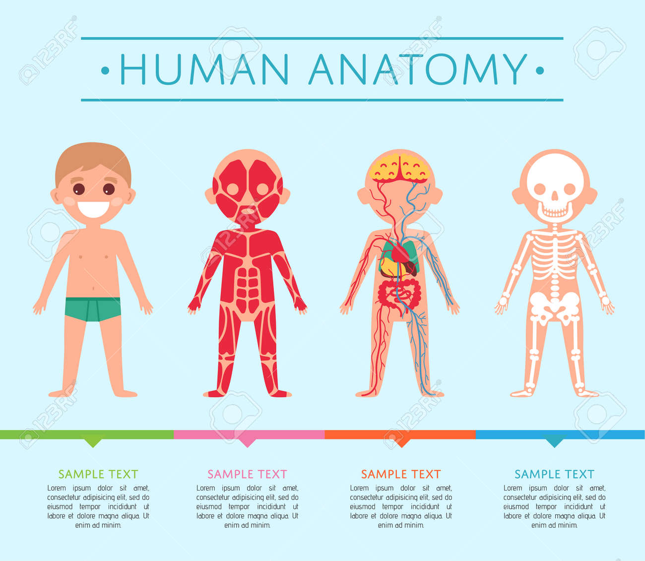 Human Anatomy Medical Poster With Child. Male Skeleton, Muscular ...