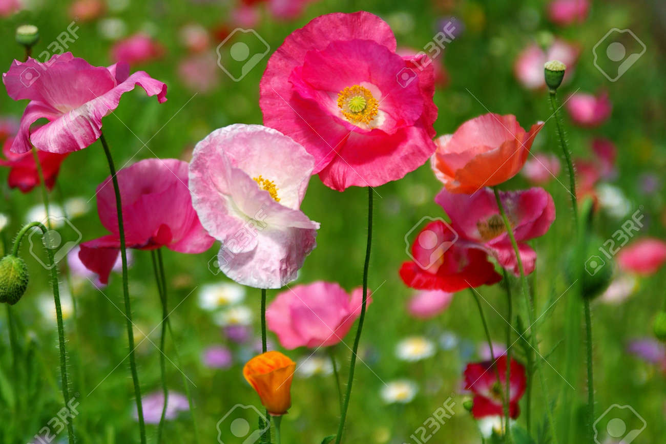 colorful poppy field stock photo, picture and royalty free image, Beautiful flower