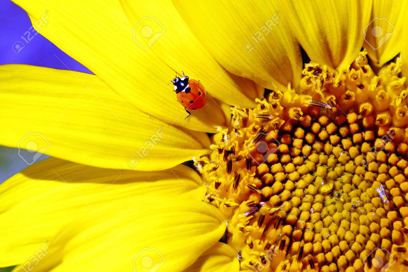 Ladybug Sitting on Sunflower - 10312220