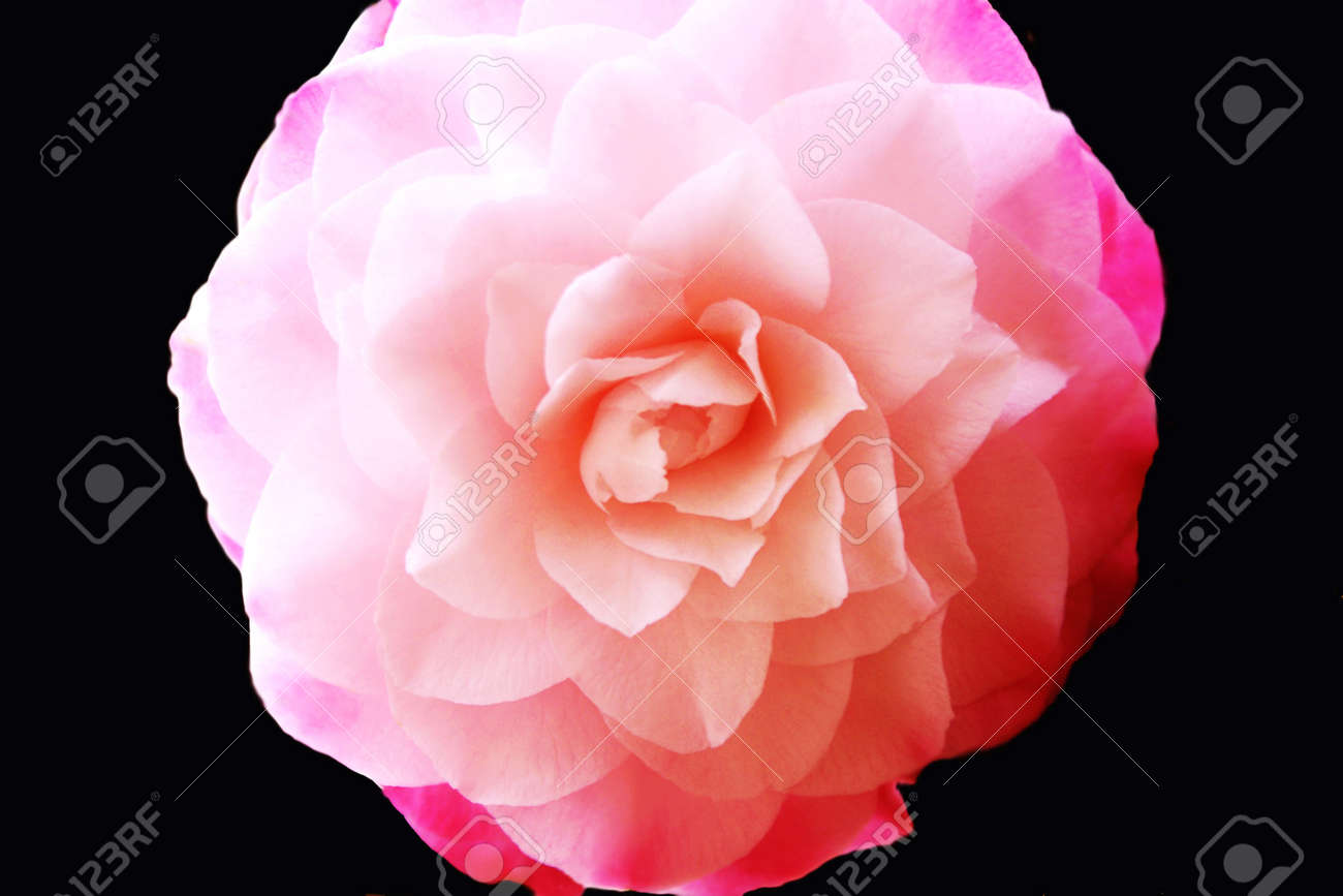 Close up of a Pink Toned Camellia Stock Photo - 13562762