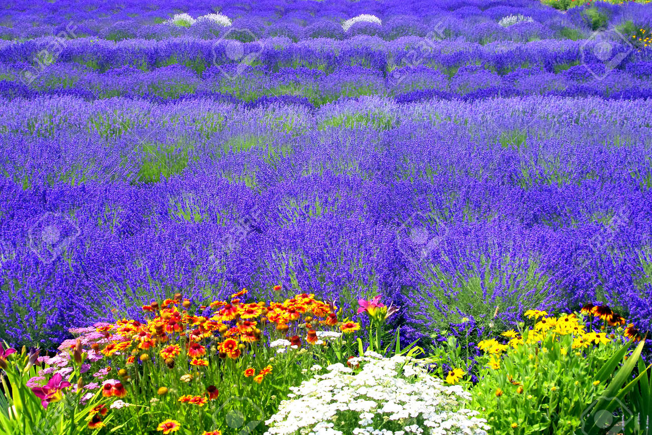 Горная лаванда цветы фото