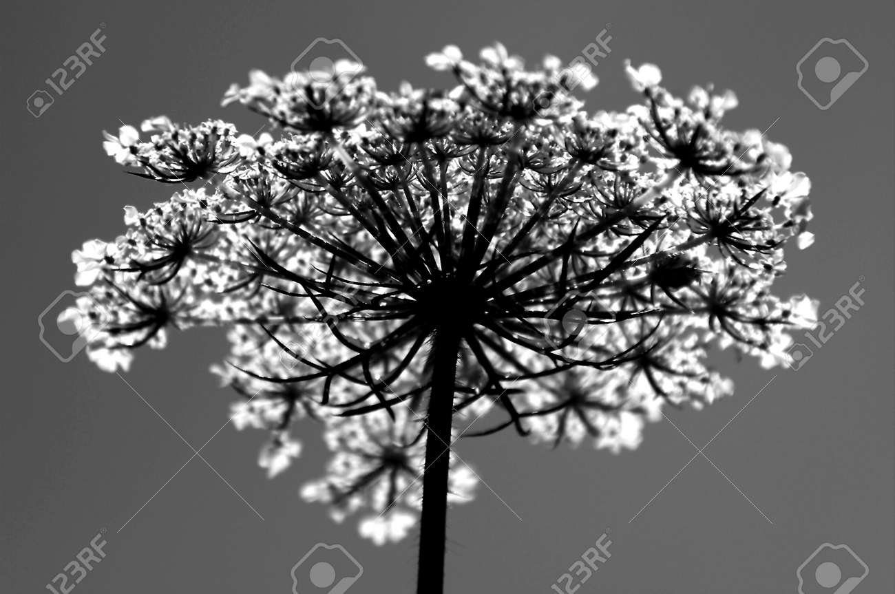 Queen Anne s Lace in Black   White Stock Photo - 14832912