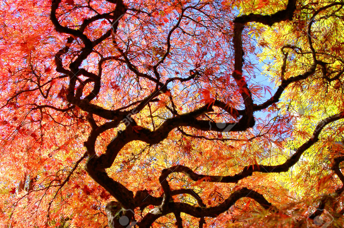 Japanese Maple Tree Surrounded by Blue Skies and Yellow Trees Stock Photo - 23545763