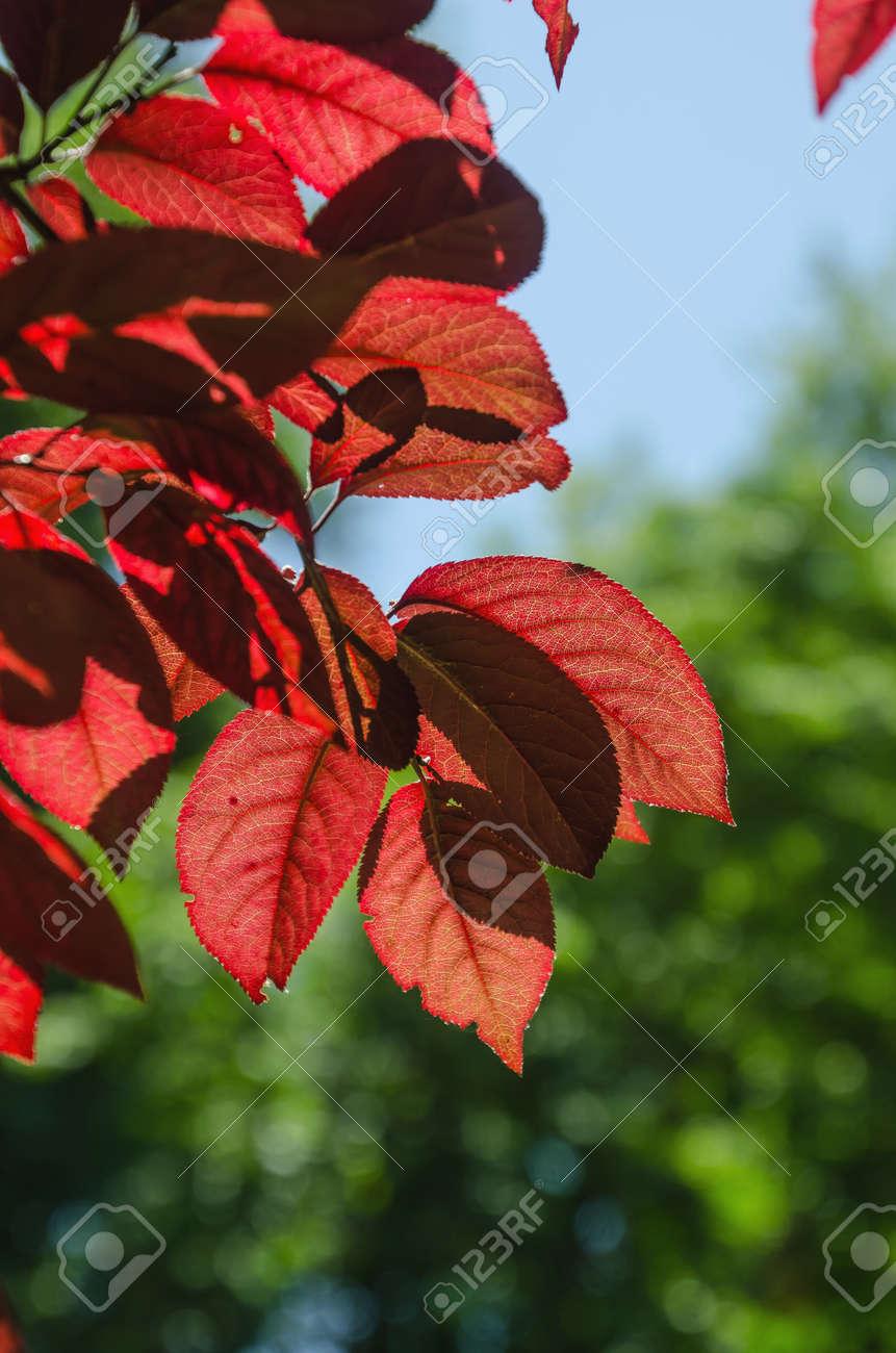 Red Leaves In A Red Leaved Plum Tree In Spring Seasonal