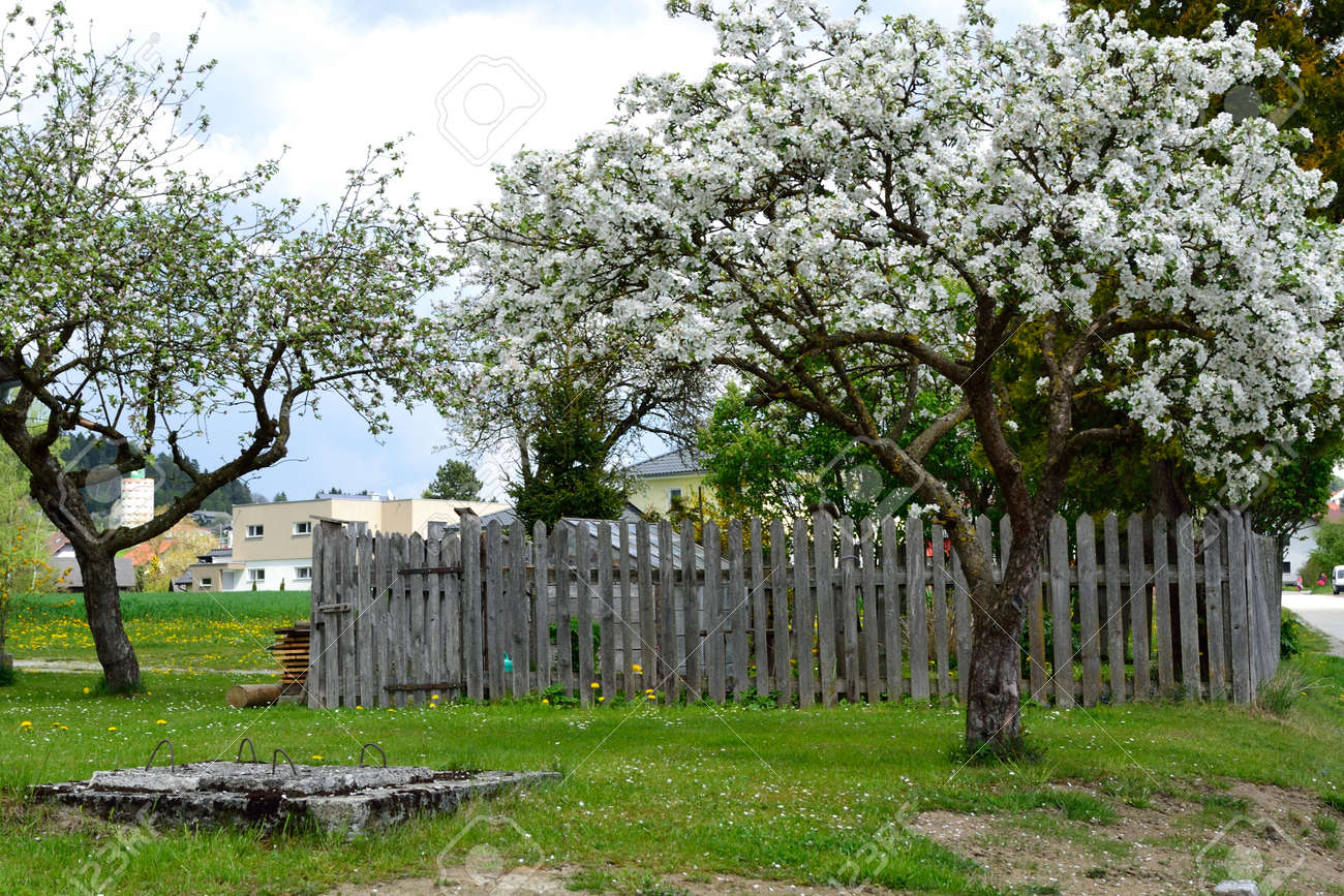Potager Mobile En Bois apple trees in front of the vegetable garden with wooden fence..