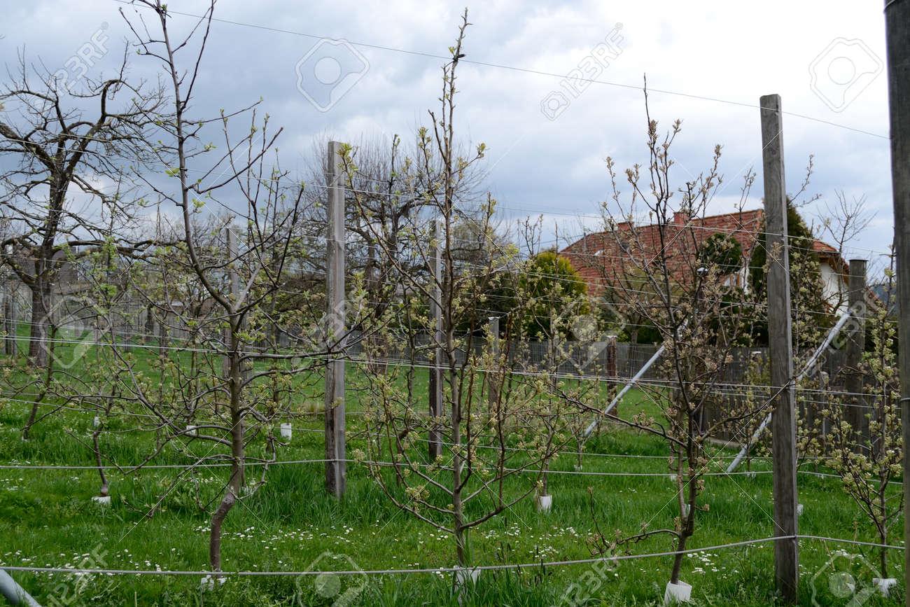 Zahlreiche Obstbaume In Spalier Lizenzfreie Fotos Bilder Und Stock