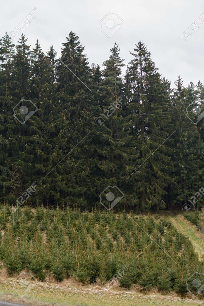 Top Nachgepflanzter Junger Wald Für Forstwirtschaft - Monokultur @GA_68