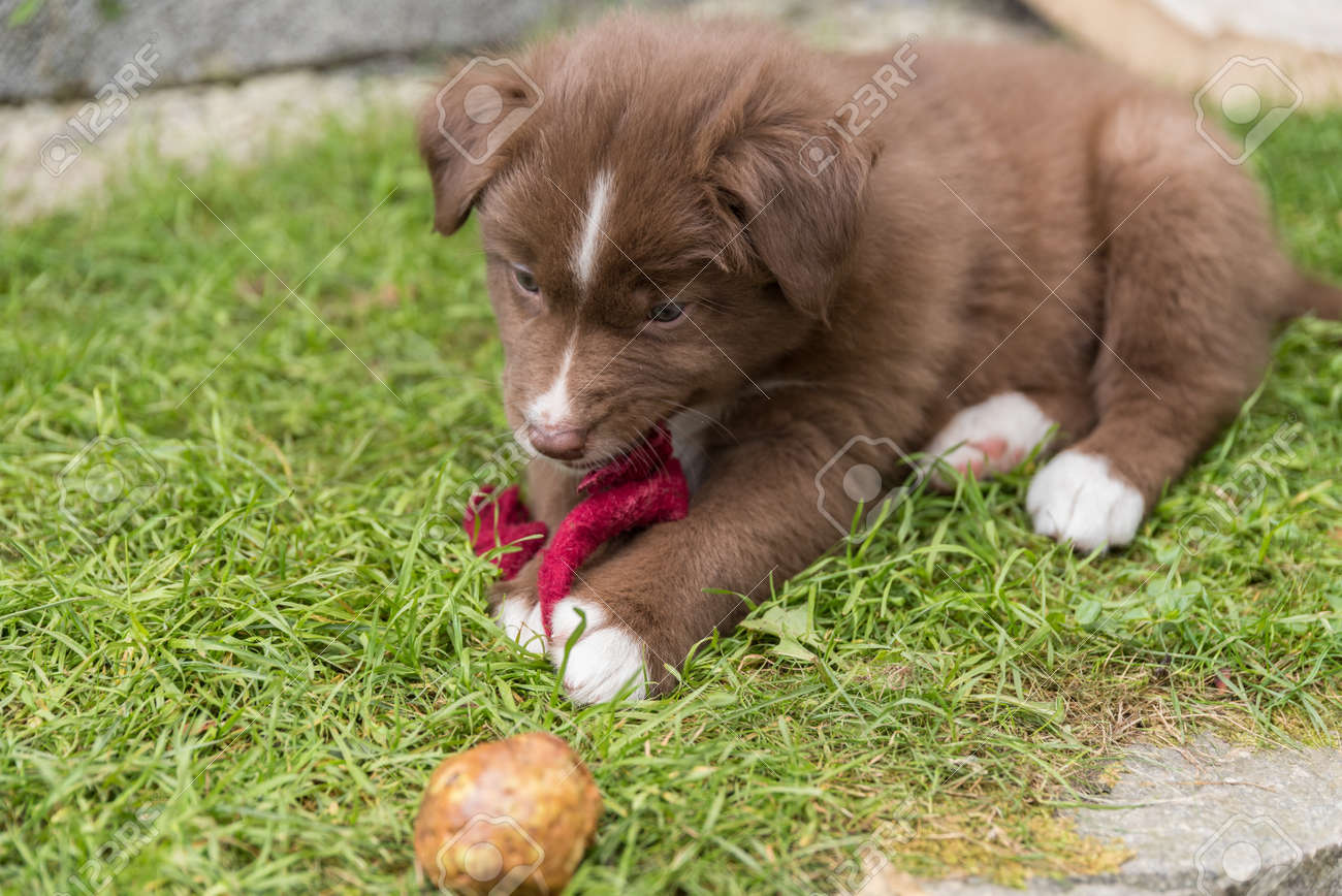 Brown Australian Shepherd Puppy Playing In The Garden Close Up Stock Photo Picture And Royalty Free Image Image 84890727