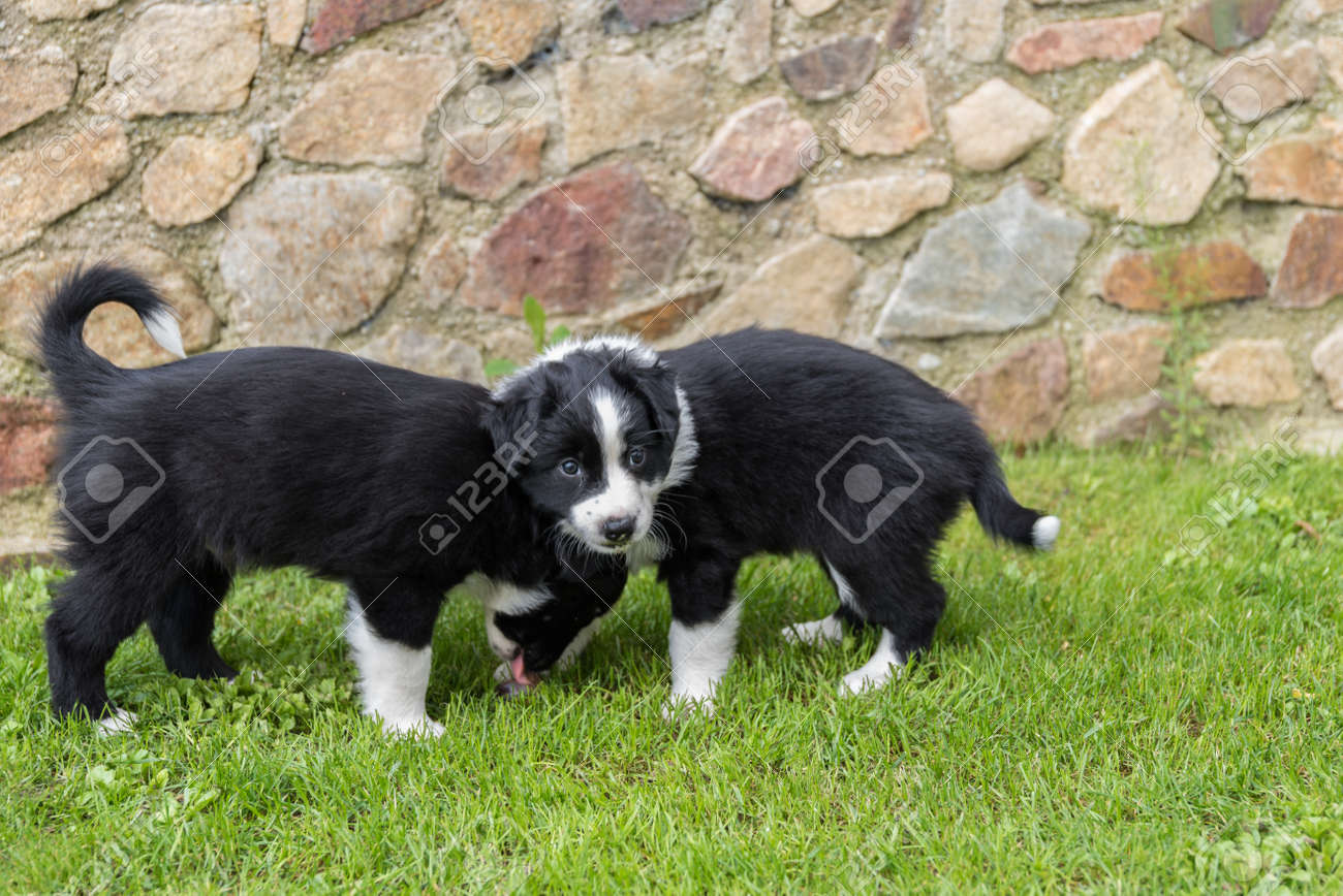 Two Black Dog Puppies In The Meadow Australian Shepherd Puppies Stock Photo Picture And Royalty Free Image Image 85137072