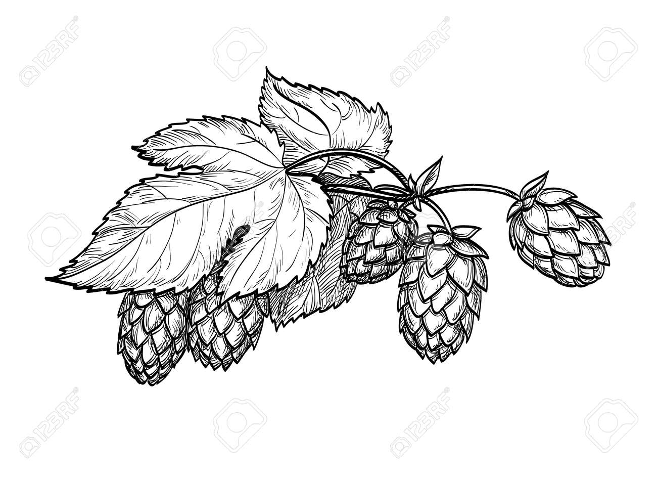 Hand drawn vector illustration of hops. Isolated on white background