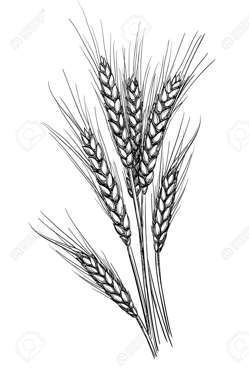 Hand drawn vector illustration of wheat. Isolated on white background. Retro style. - 66933132