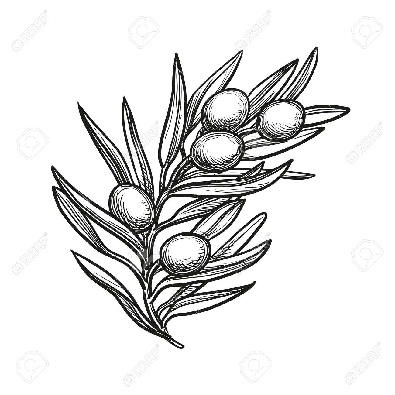 vector illustration of olive branch - 69975742