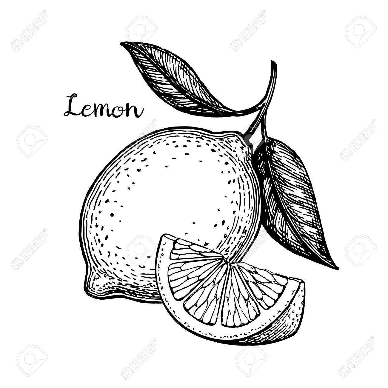 Hand drawn vector illustration of lemon. Isolated on white background. Retro style. - 81695352