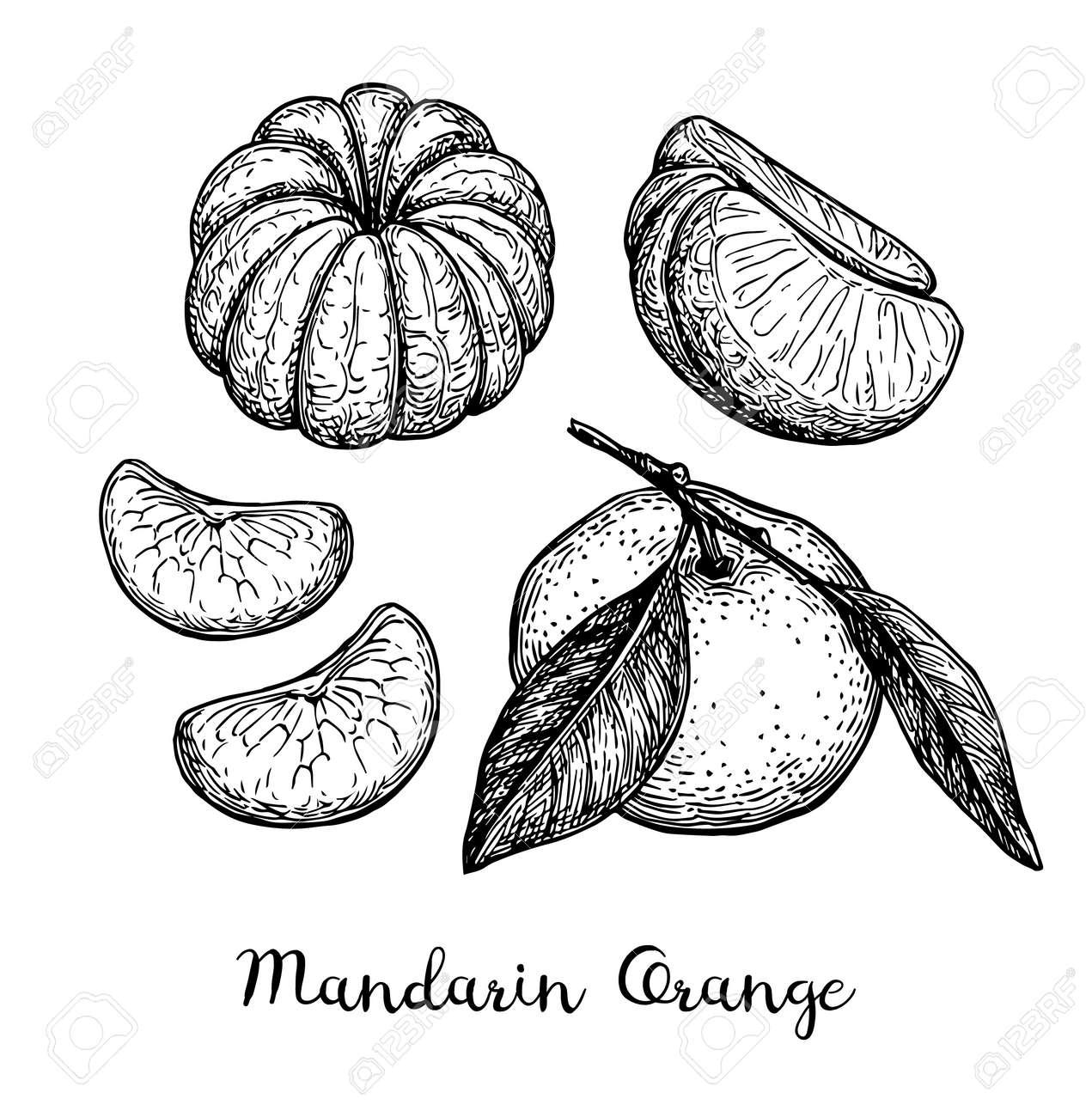 Mandarin orange set. Ink sketch isolated on white background. Hand drawn vector illustration. Retro style. - 93833151