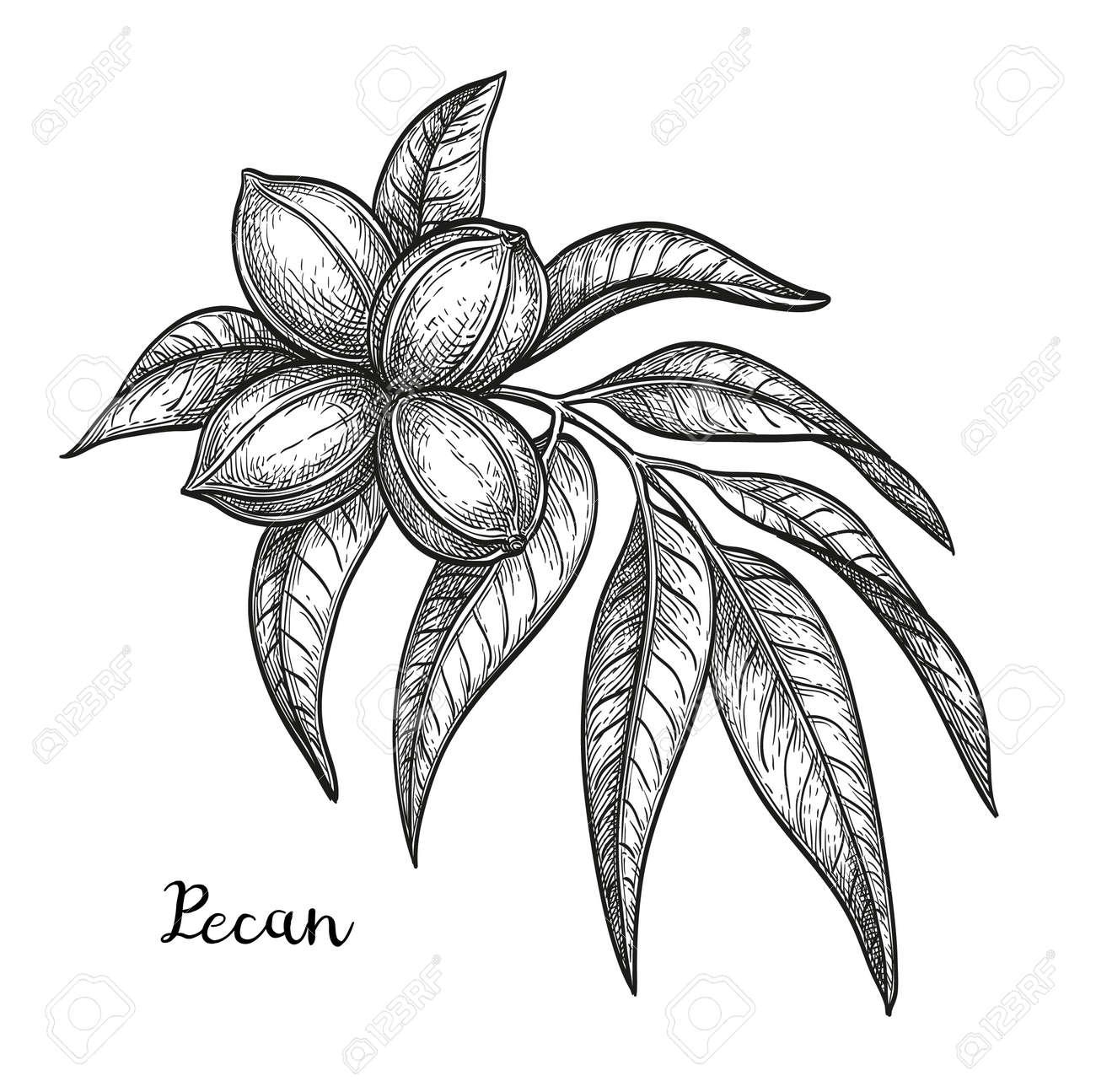 Ink sketch of pecan - 102470259