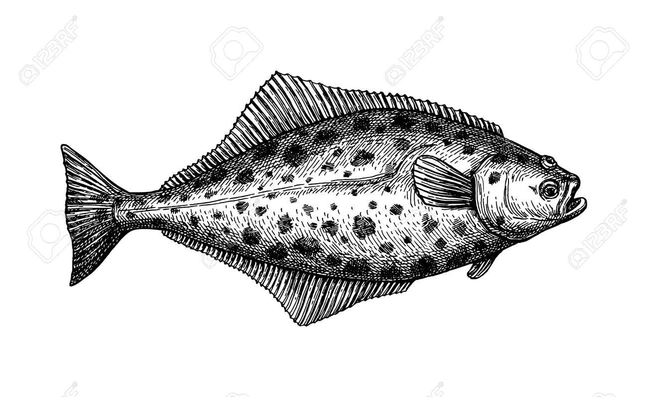 Ink sketch of halibut. - 149292388