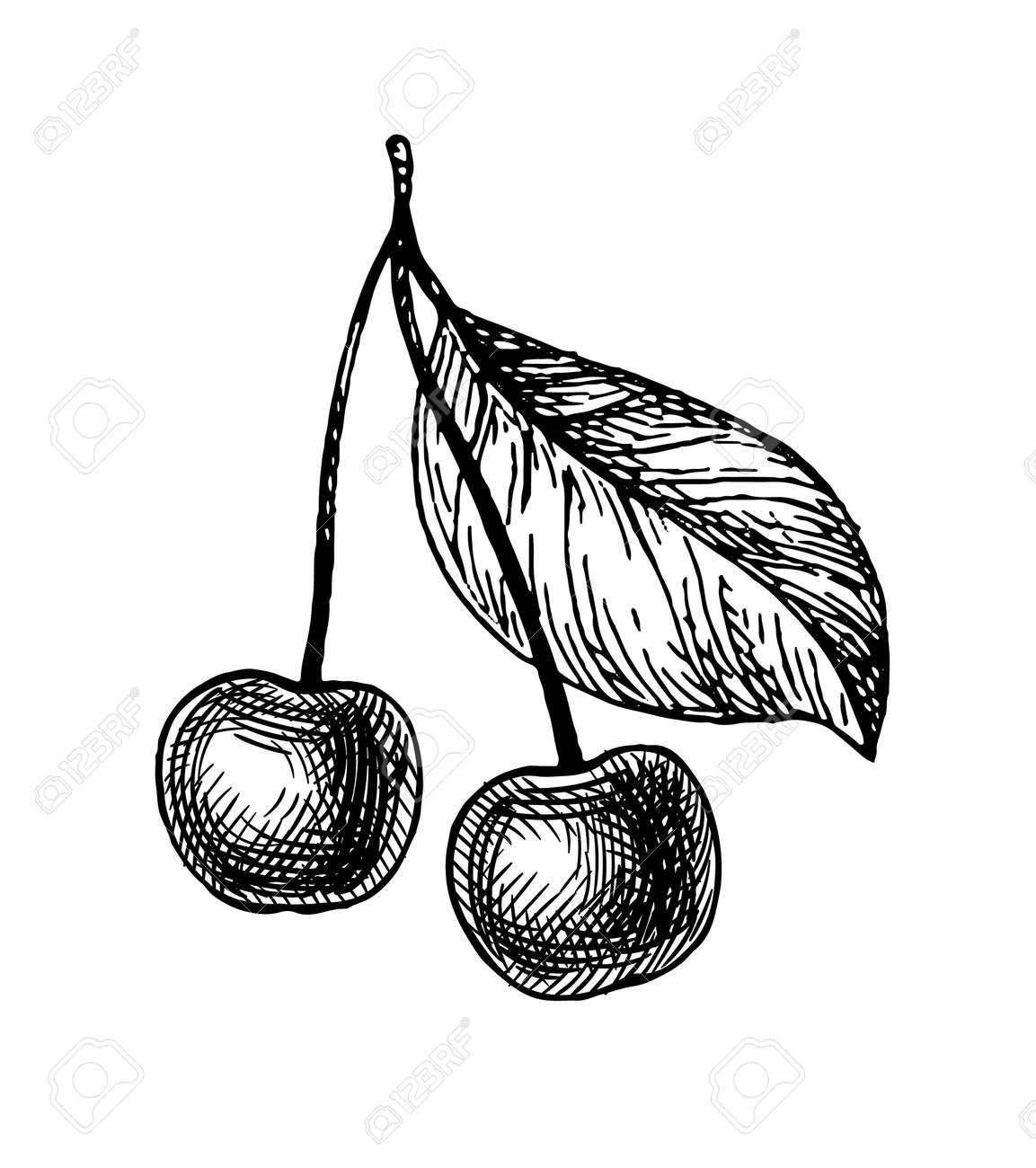 Cherry ink sketch. - 171667128