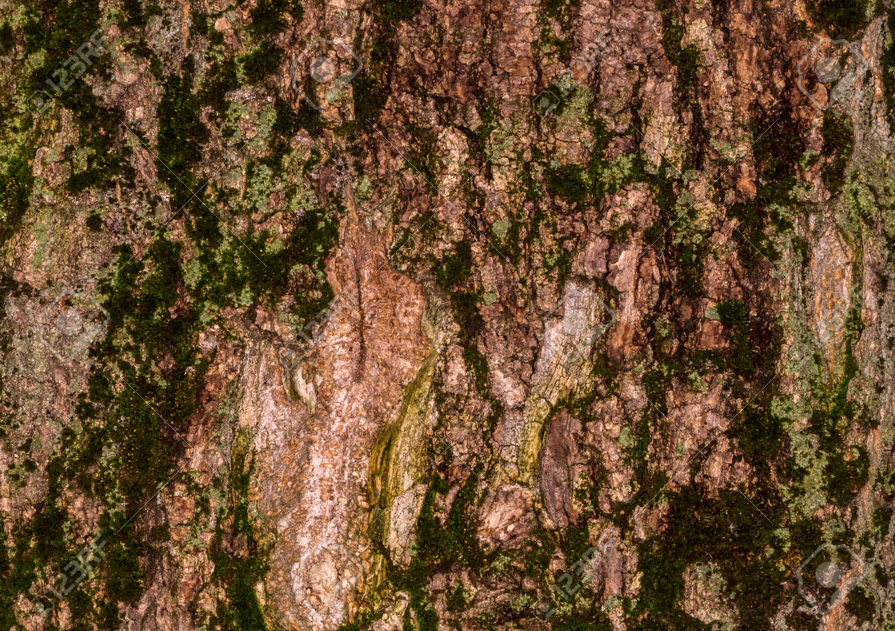 Multi Colored Moss On The Bark Of An Old Lime Tree Stock Photo