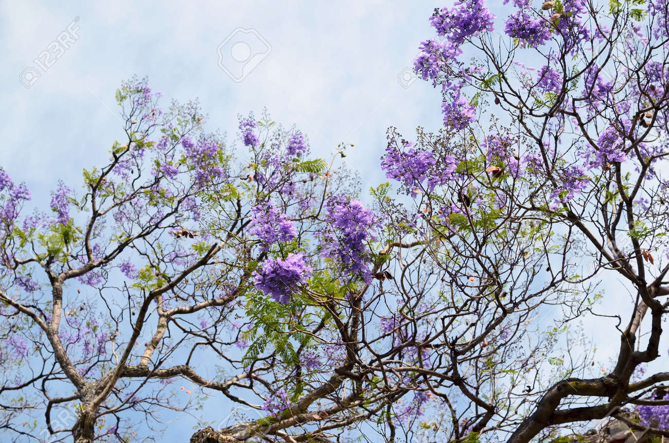 Blooming With Purple Flowers Jacaranda Tree Branches Against Stock