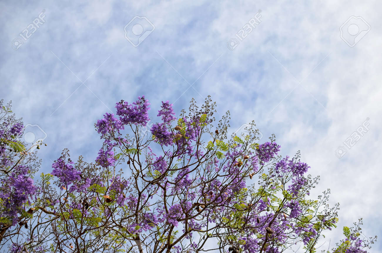 Blooming With Purple Flowers Tree Branches Against Blue White