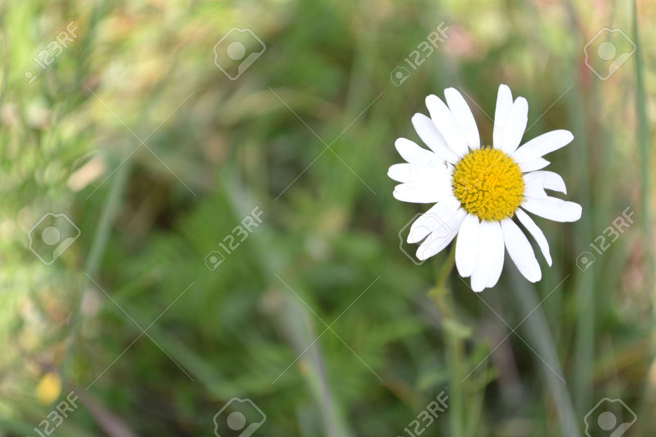 A Photo Of A Daisylike Flower Stock Photo Picture And Royalty Free