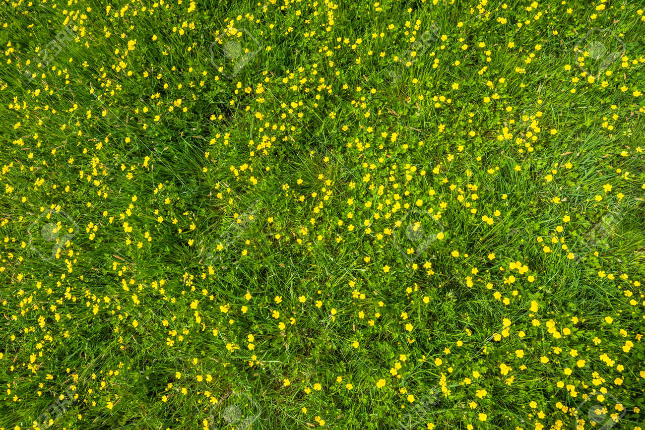 wild grass texture. Wild Flowers, Texture Of Grass In Green Field At Spring Stock Photo - 69921035