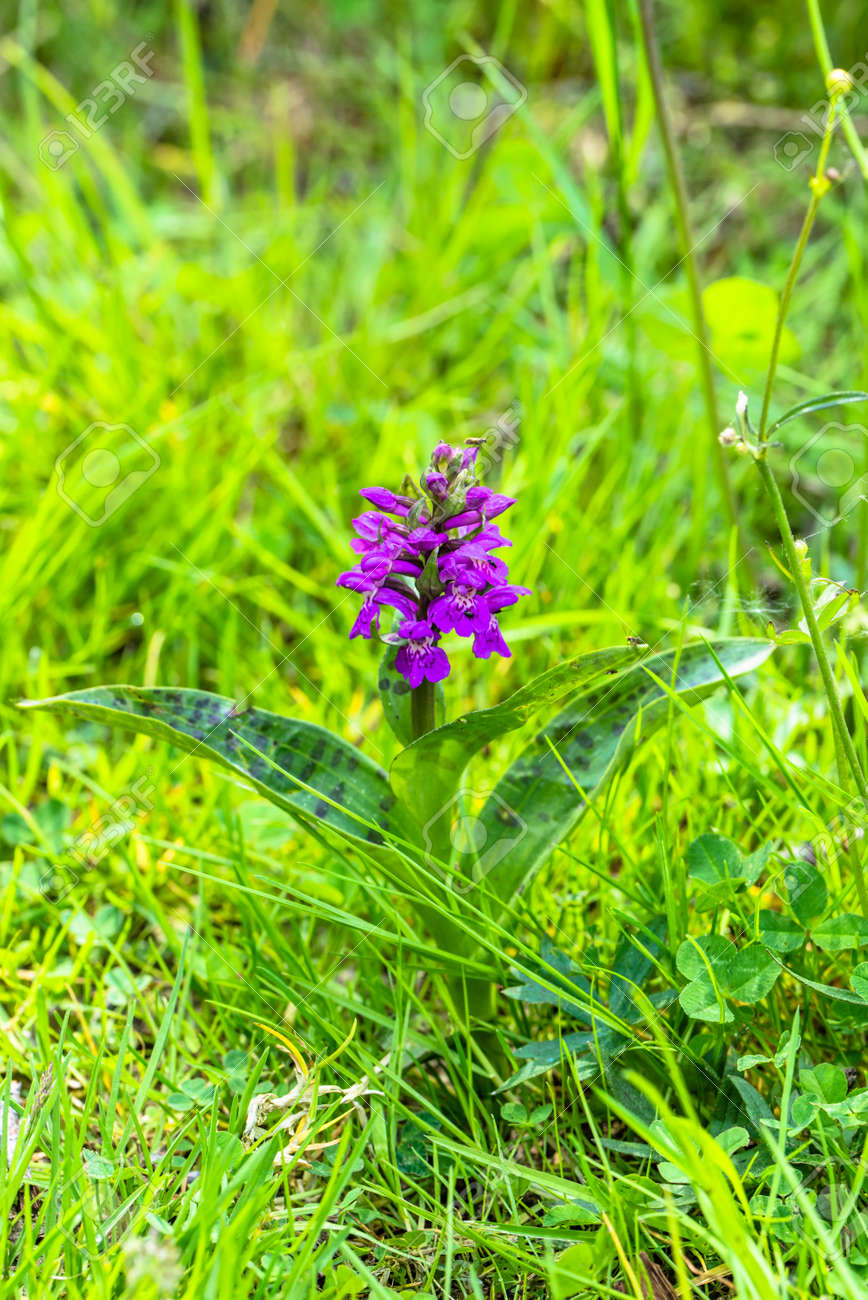 Wild Orchid On Meadow Spring Flowers Stock Photo Picture And