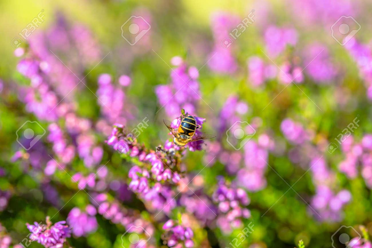 beautiful autumn wallpaper with bee on heather flowers, macro