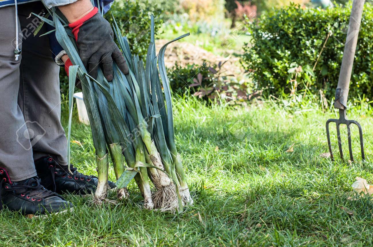 Organic Vegetables Harvest Farmer Picking Produce In Bio Garden